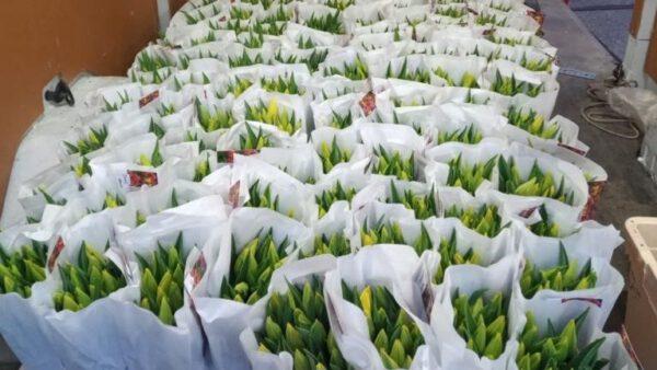 Tulpen uit Volendam – Fijne paasdagen!